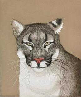 The upper torso and head of a mountain lion, who stares out at the viewer intently from a stark sand colored background